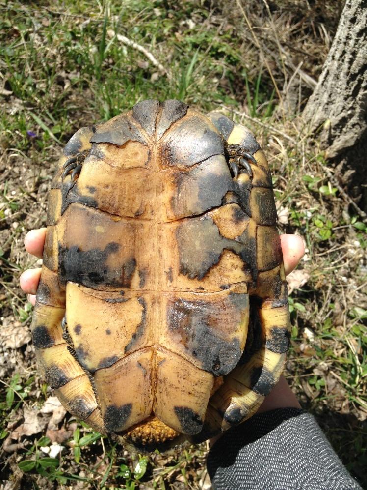 Underside of the Blanding Turtle.