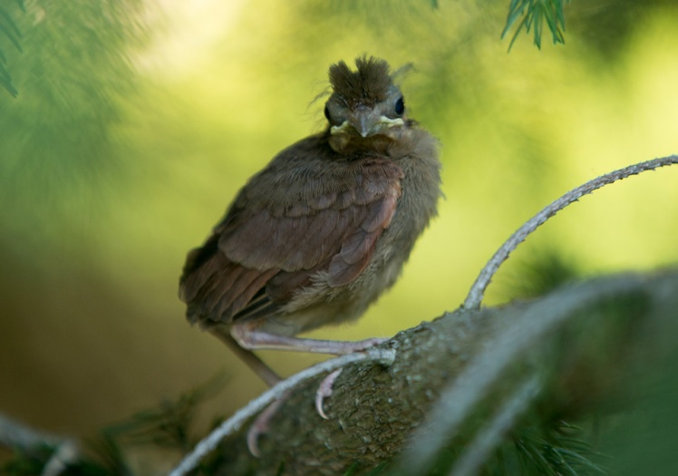 baby_northern_cardinal_pine