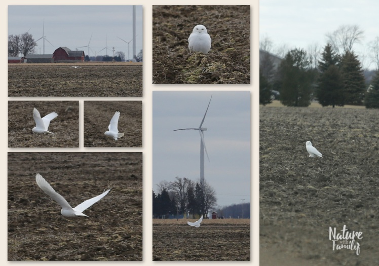 Snowy_Owl_2_Nature_with_family