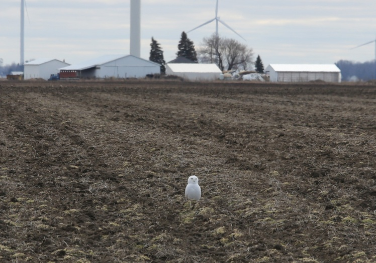 Snowy_Owl_Nature_with_family